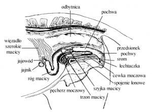 anatomia suki