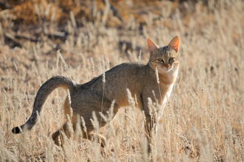 Kot nubijski[2], żbik afrykański (Felis silvestris lybica) – podgatunek żbika europejskiego, ssaka z rodziny kotowatych. Zamieszkuje prawie całą Afrykę (poza bezwodnymi pustyniami i tropikalnymi lasami deszczowymi) oraz Półwysep Arabski. Jak widać, istnieje pewne zamieszanie w nazewnictwie tego gatunku. Wynika ono z faktu, że najnowsze badania genetyczne dowodzą niezwykle bliskiego pokrewieństwa między żbikiem i kotem nubijskim i sugerują, że należy je zaliczyć do jednego gatunku, ewentualnie wydzielając jedynie odrębną grupę żbików zamieszkujących Bliski Wschód i Afrykę. Kota nubijskiego uważa się za przodka kota domowego.