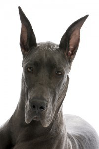 great dane puppy portrait - blue colour - 9 months old