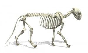 koci szkielet