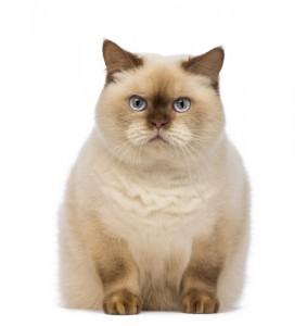 Otyły pies i kot. Powyższe zasady dotyczą także kotów. Kot musi byc gibki i zwinny - wtedy łatwo mu sie poruszac, polowac, przemykać się mie∂zy sprzęami. Kot otyły t kot częsciowo unieruchomiony, a co za ty idzie - nieszczęśliwy.