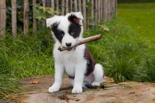 Moment, w którym pies może swobodnie korzystać ze spacerów jest około 2 tygodni od zakończenia tego ostatniego szczepienia przeciw podstawowym chorobom zakaźnym, czyli zazwyczaj około 13 – 14 tygodnia życia.