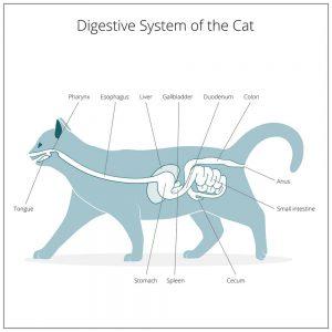 układ pokarmowy kota