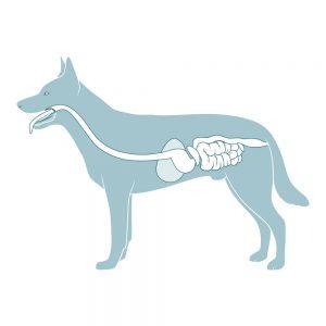 układ pokarmowy psa