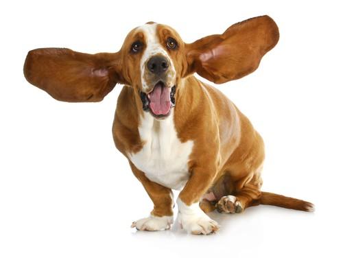 Pielęgnacja uszu psa - dlaczego jest ważna?