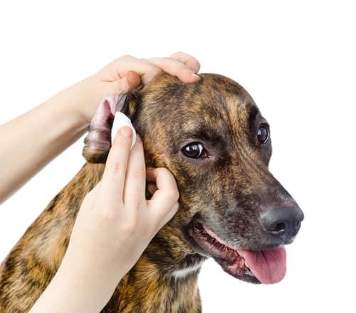 Pielęgnacja uszu psa zapobiega infekcjom