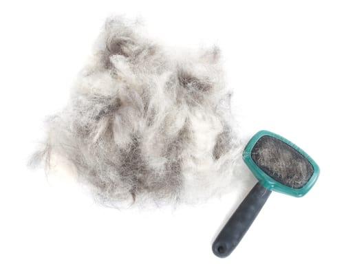 W klimacie umiarkowanym lub chłodnym psy i koty liniejąwiosną i jesienią. Linienie polega na zmianie okrywy włosowej by dostosować ciepłoęy ciała do panujących temperatur. Zrogowaciała cebulka włosowa oddziela się od brodawki włosowej, a stary włos zostaje wypchnięty przez powstający w jego poprzednim miejscu nowy włos.Linieniejest sterowane przez przysadkę mózgową i tarczycę.
