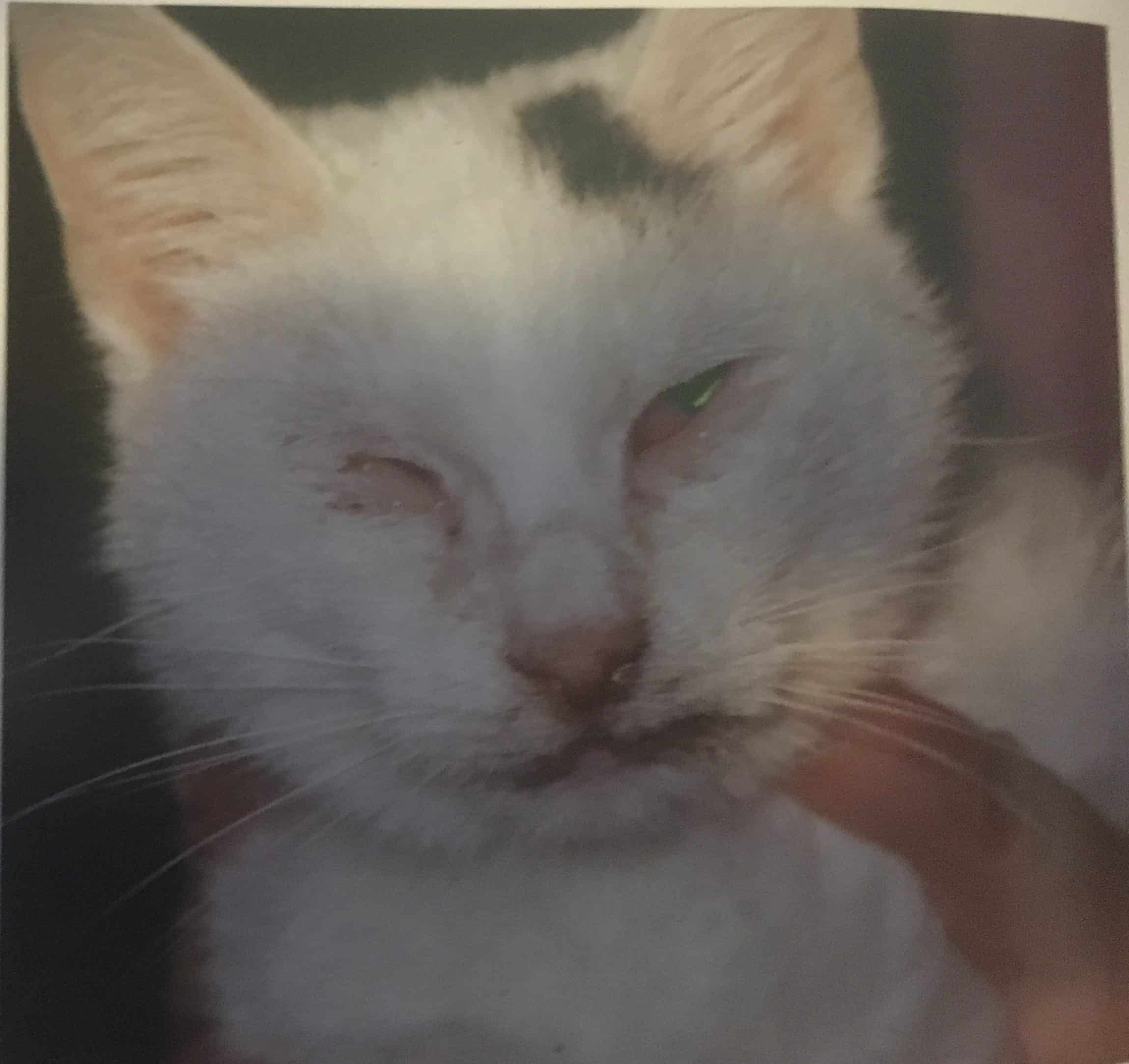 Choroby oczu u kotów - zapalenie spojówek i kurcz powiek w przebiegu chlamydiozy