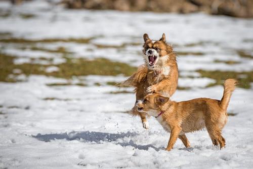 wrodozna agresja u psów