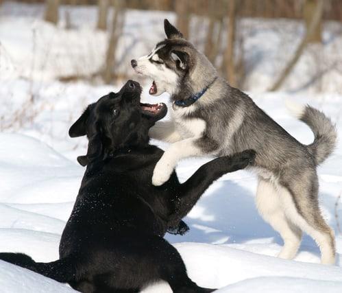 Psy rzucają się na siebie podczas spaceru.