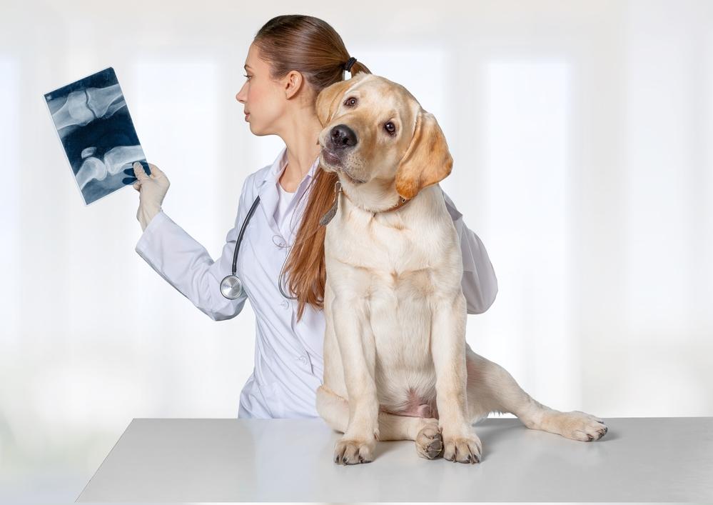 Enostoza - choroba kości u młodych psów