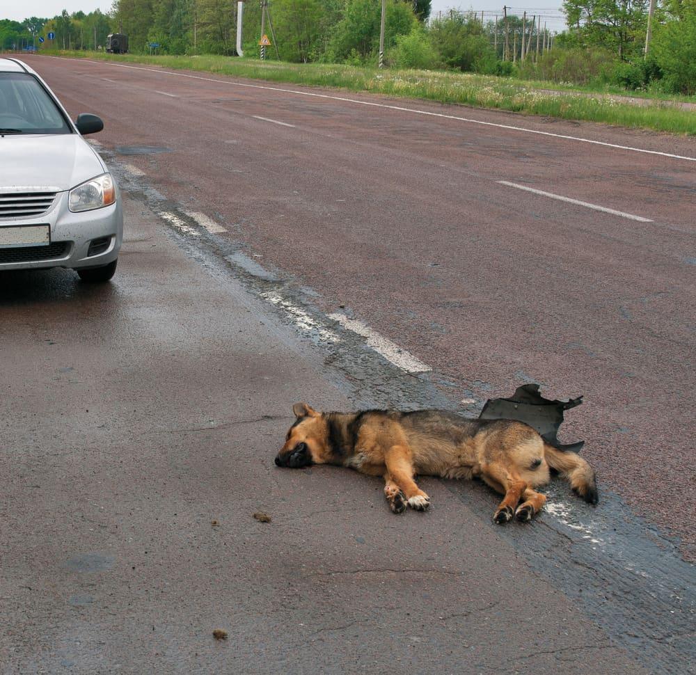 Pies miał wypadek - jak mu pomóc?