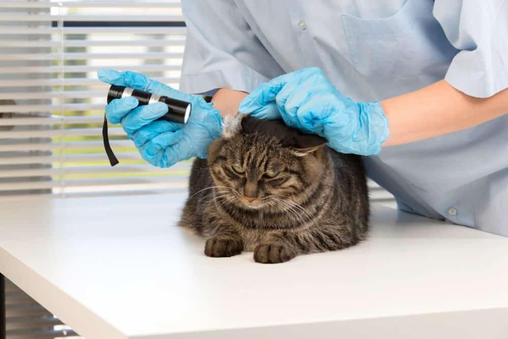 Pasożyty u kotów: rodzaje i objawy