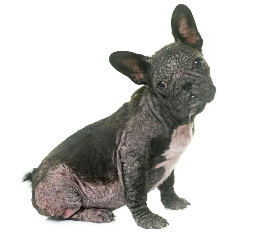 Kiedy pies łysieje ozanacza to, że coś dzieje się w jego organizmie.