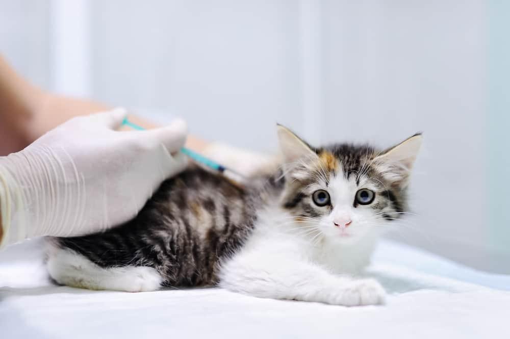 Na co zaszczepić kota?