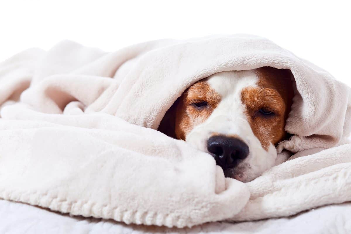 Pies ma katar - czy to możliwe?