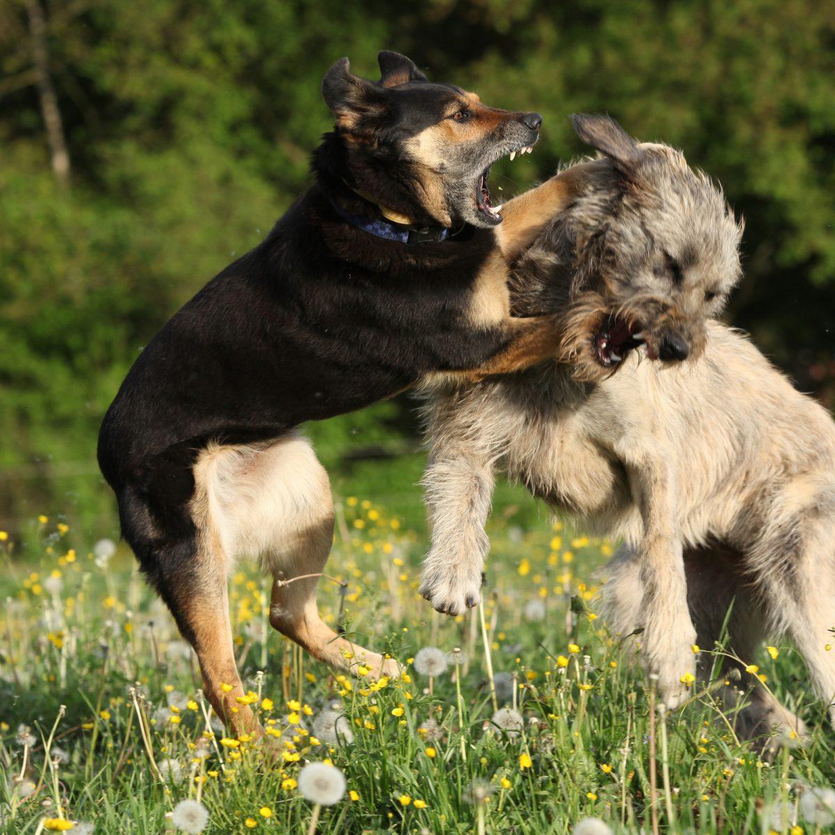 Agresja u psa - przyczyny, rodzaje