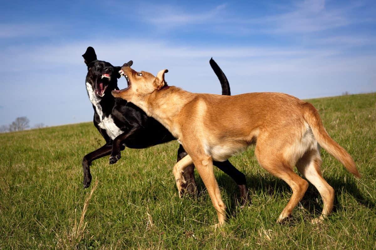 Jak reagować na agresję psa?