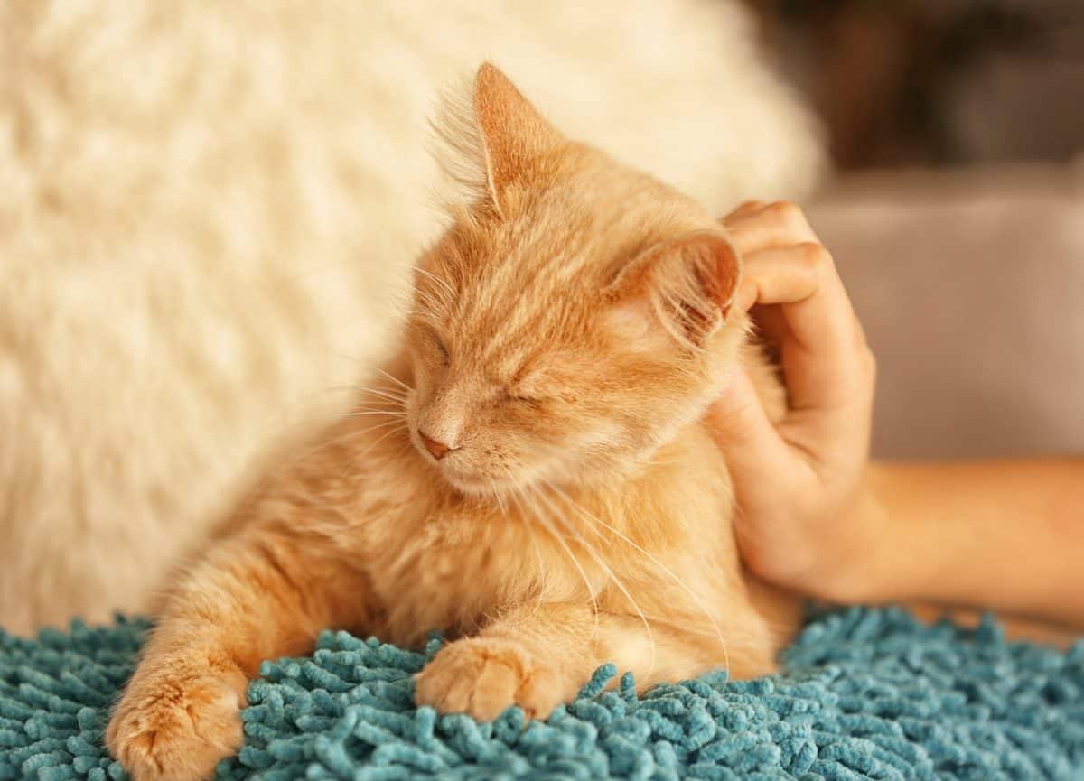 Gdzie drapać kota, żeby mruczał?