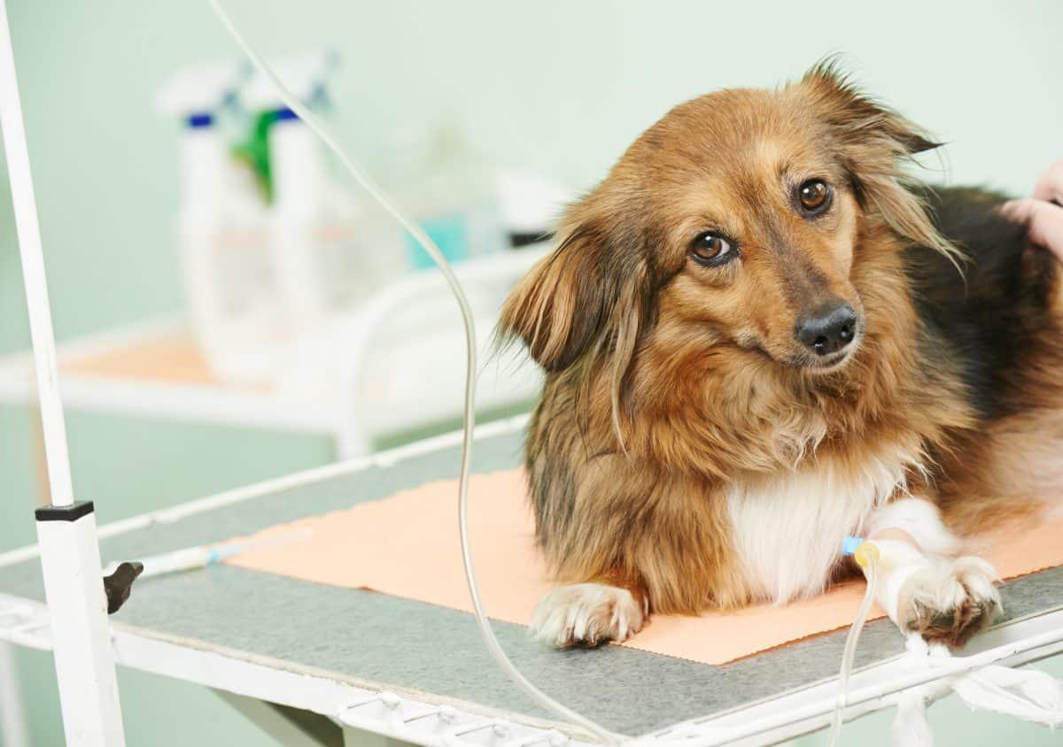 Przewlekła choroba nerek dotyka starsze psy