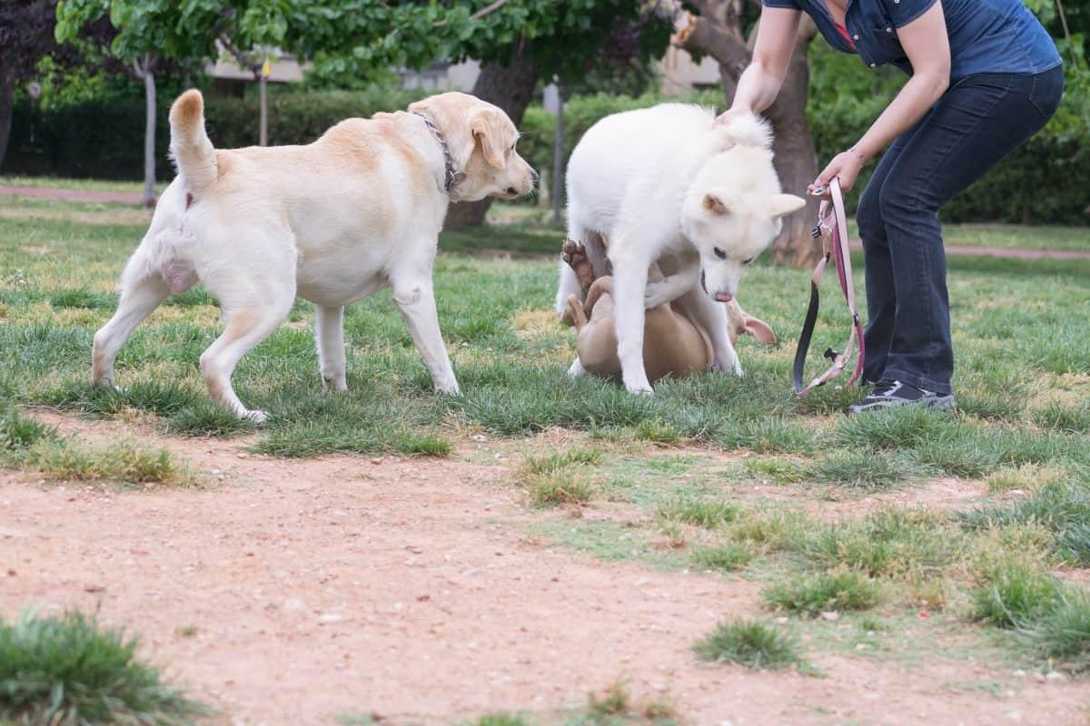 Jak reagować na agresję psa, żeby nie doszło do zaostrzenia konfliktu?