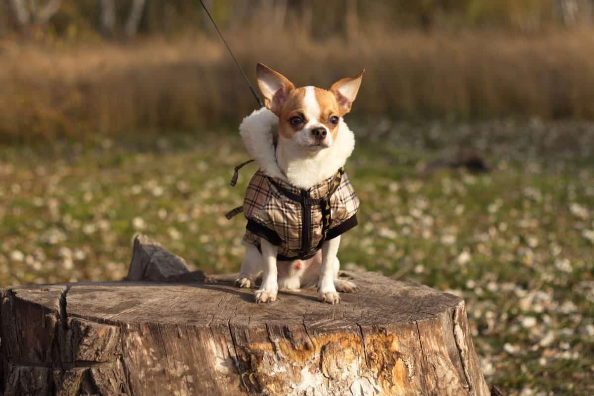 Ubranka dla psa - przydają się szczególnie psom ras miniaturowych