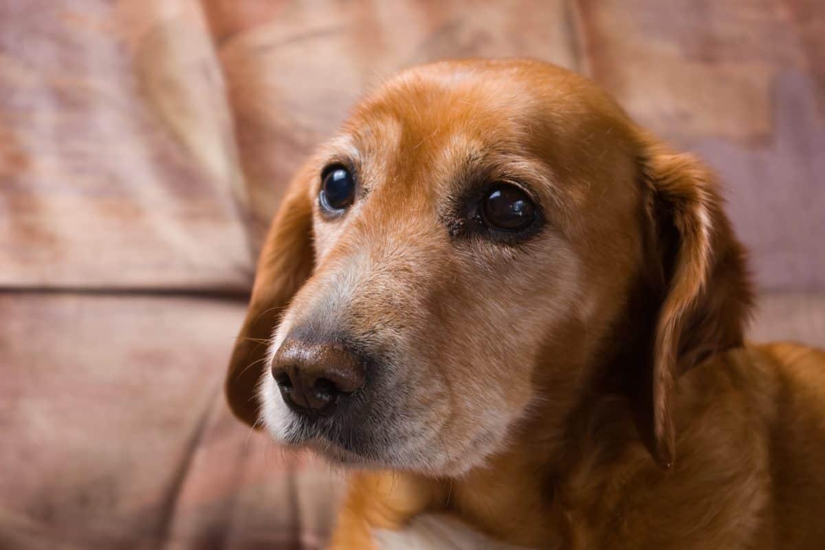 Zmiany poznawcze u starych psów