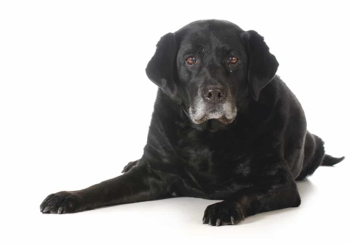 Zabieg akupunktury u psiego seniora może poprawić jego samopoczucie.