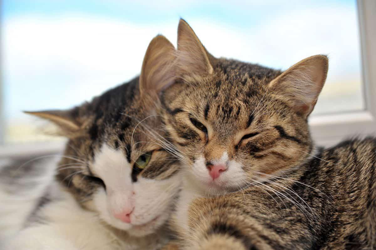 Konflikty między kotami - lepiej dogadują się dzewczyny