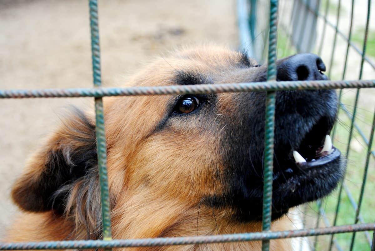 Agresja u psów ze schroniska