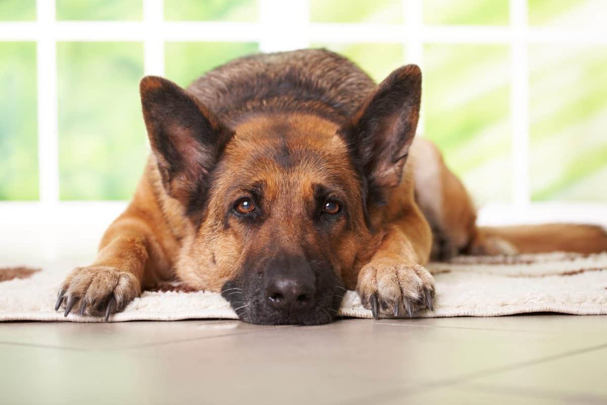 Zaburzenia poznawcze u starych psów wiążą się ze zmianami w mózgu