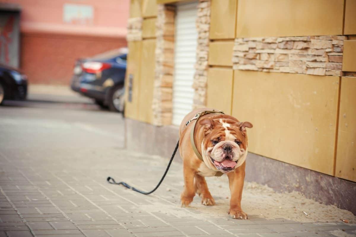 Pies na smyczy - nauka podstawowych zasad