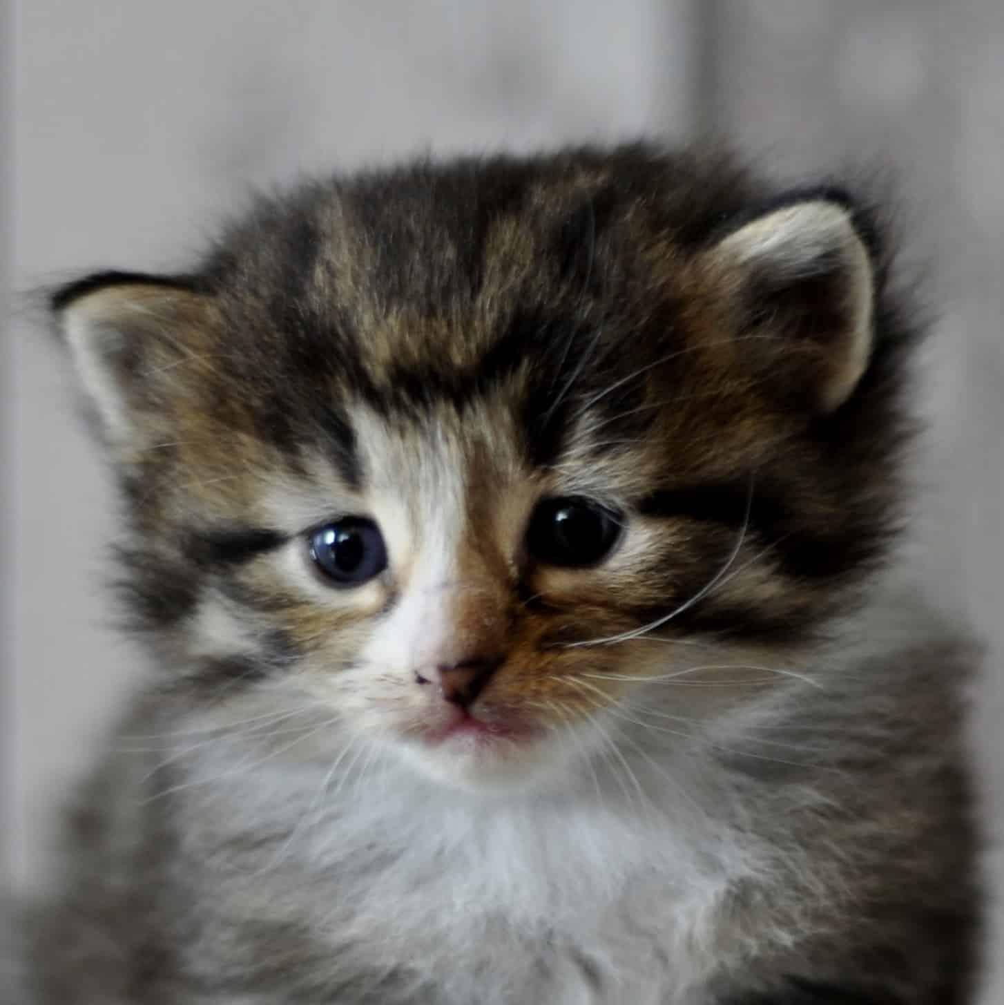 Koty norweskie leśne mają skośne oczy
