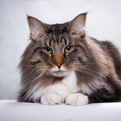 Koty norweskie leśne pochodzą ze Skandynawii