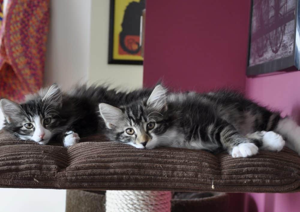 Koty norweskie leśne - co to za rasa?