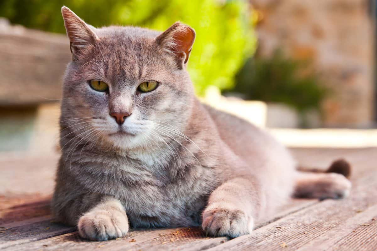 Choroby zwyrodnienowe stawów u kotów