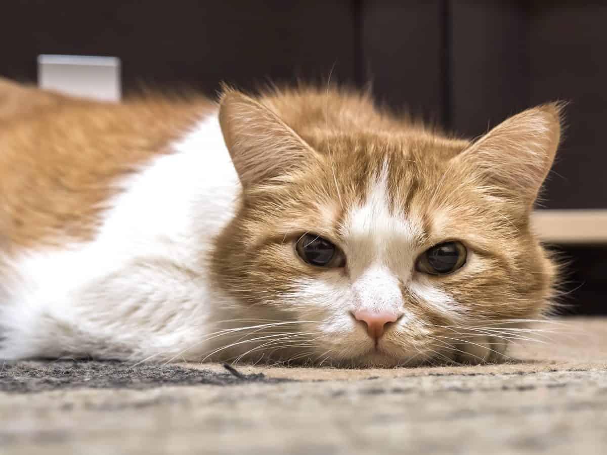 Choroby zwyrodnieniowe stawów dotykają stare koty.
