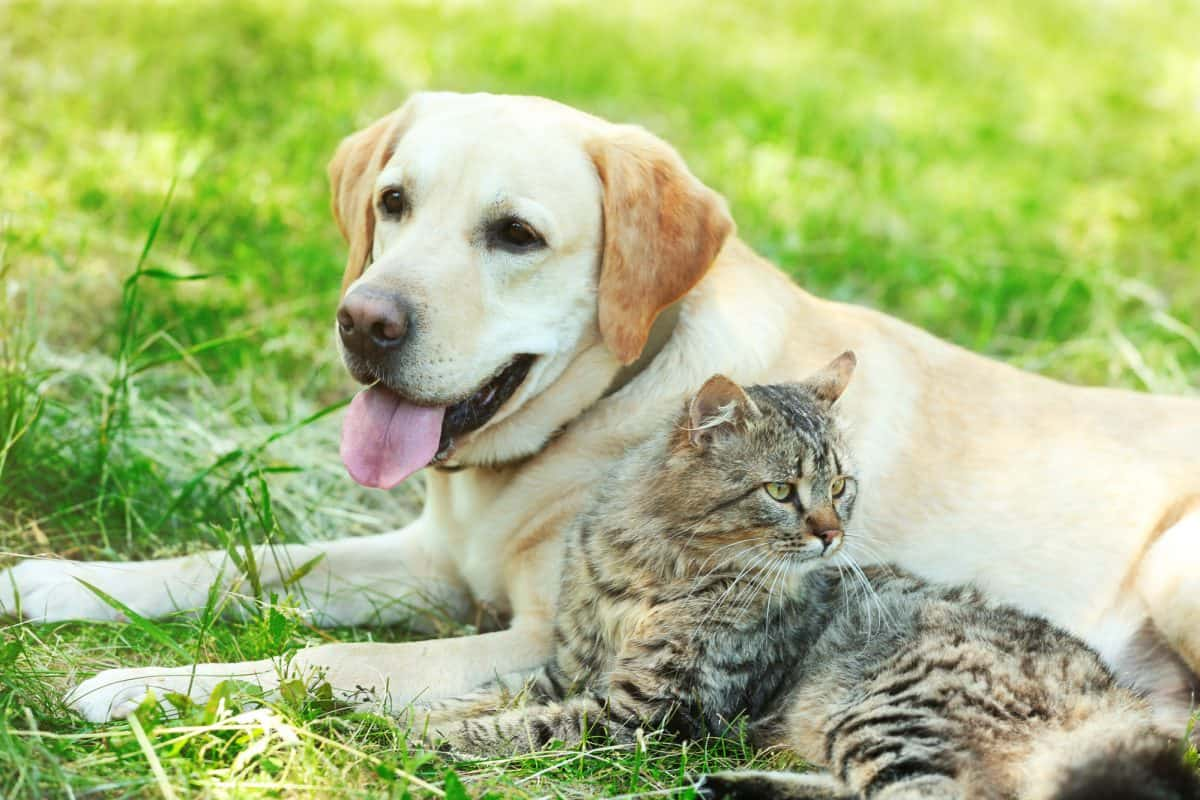 Dawca krwi - pies i kot. Jak wygląda zabieg?