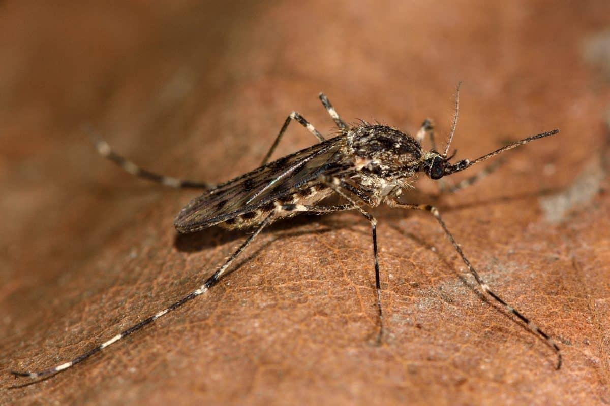 Choroby tropikalne zwierząt to np. teilerioza