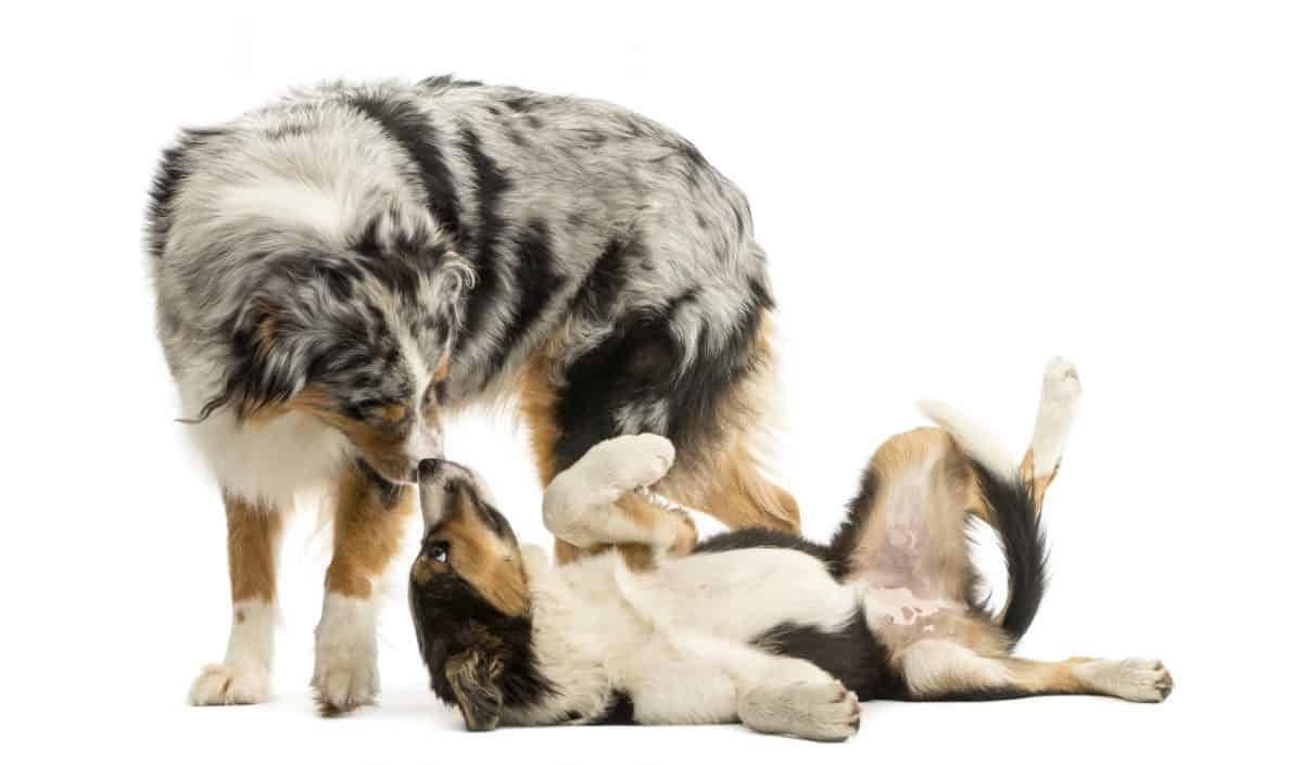 Kiedy pies kładzie się na grzbiecie często oznacza to uległość.