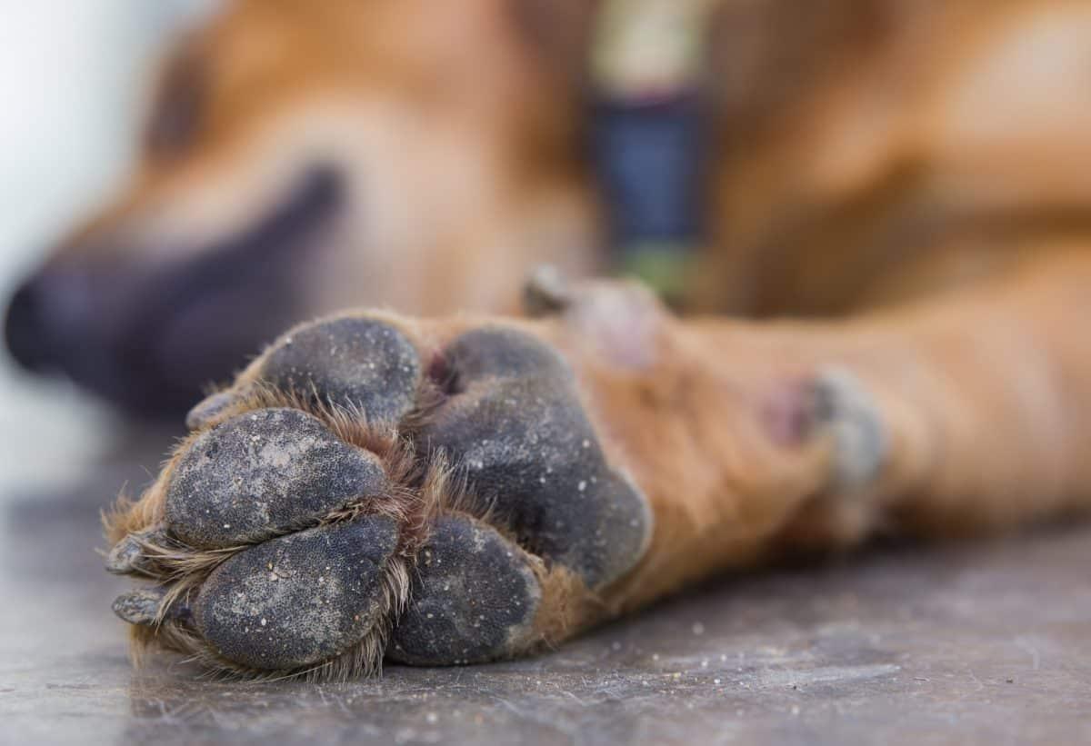 Jak chronić psie łapy zimą? Zakładać psu buty.