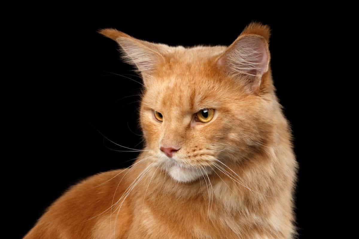 Koci język, czyli zrozumieć własnego kota