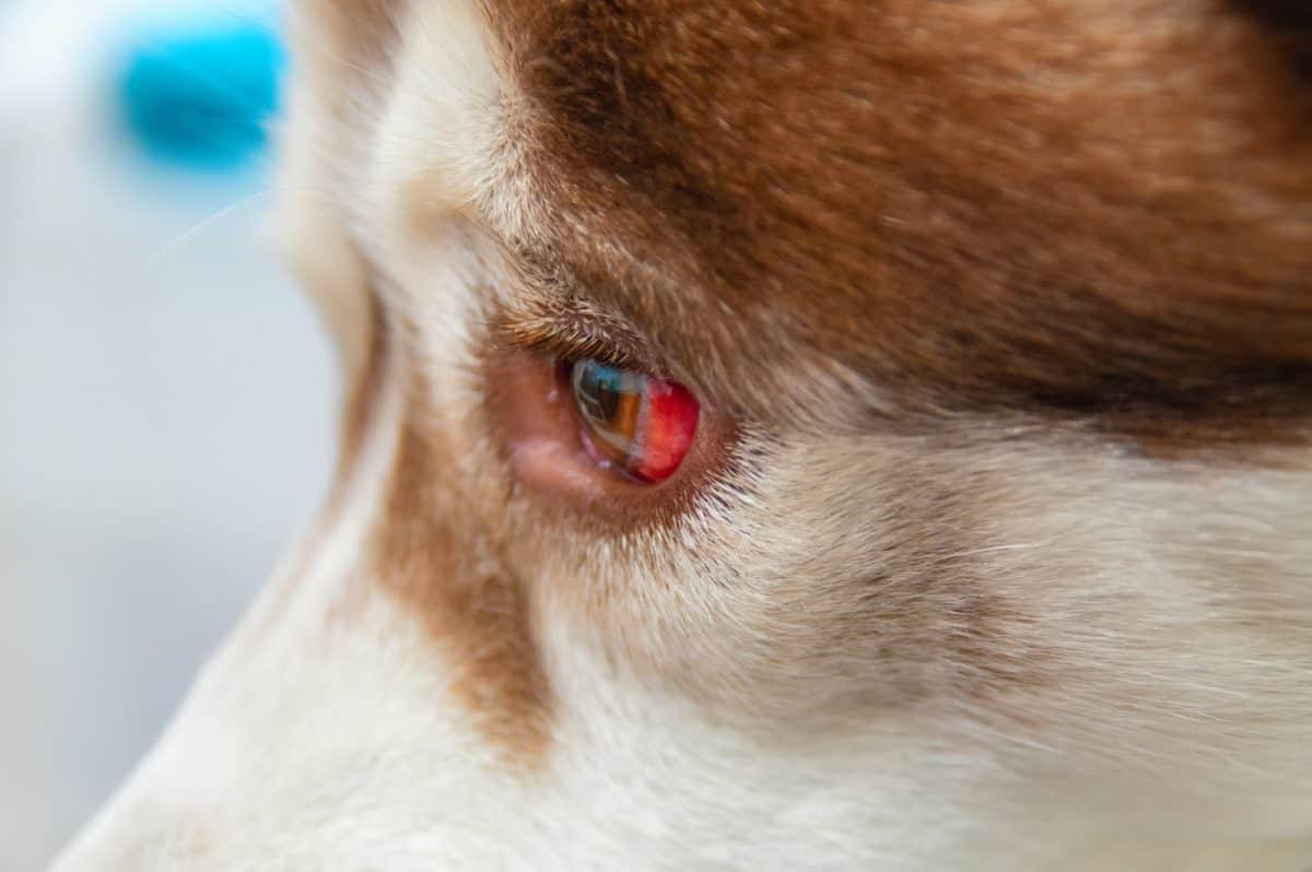 Zaćma u psa i kota może mieć różne przyczyny