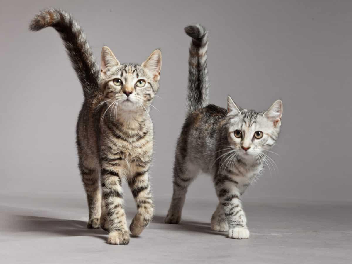 Koci język nie jest trudny. Uważny obserwator szybko się go nauczy.