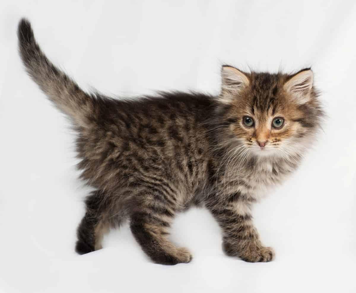 Koci ogon - mowa ciała kota