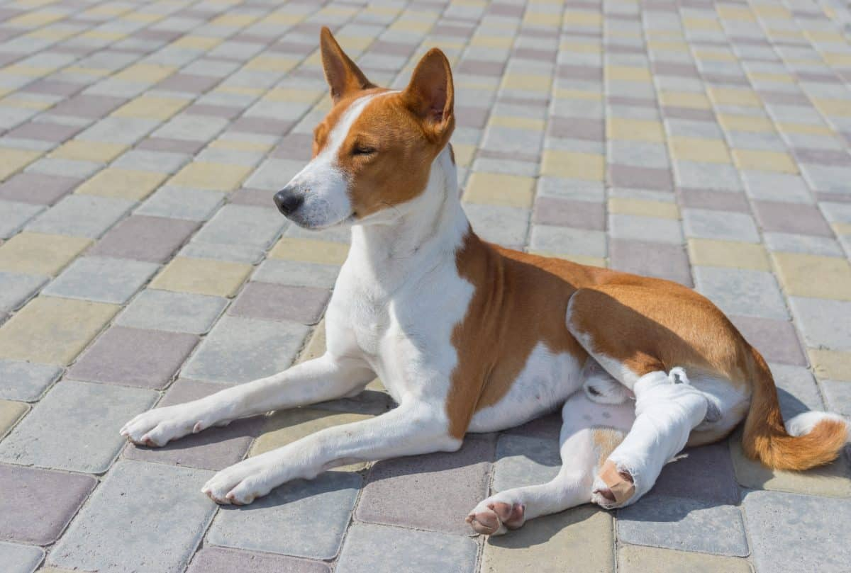 Złamanie nogi, zwichnięcie stawu u psa