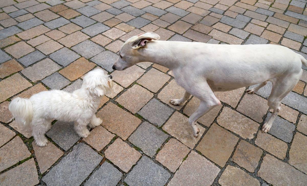 Pieski małe dwa mogą się zaprzyjaźnić.