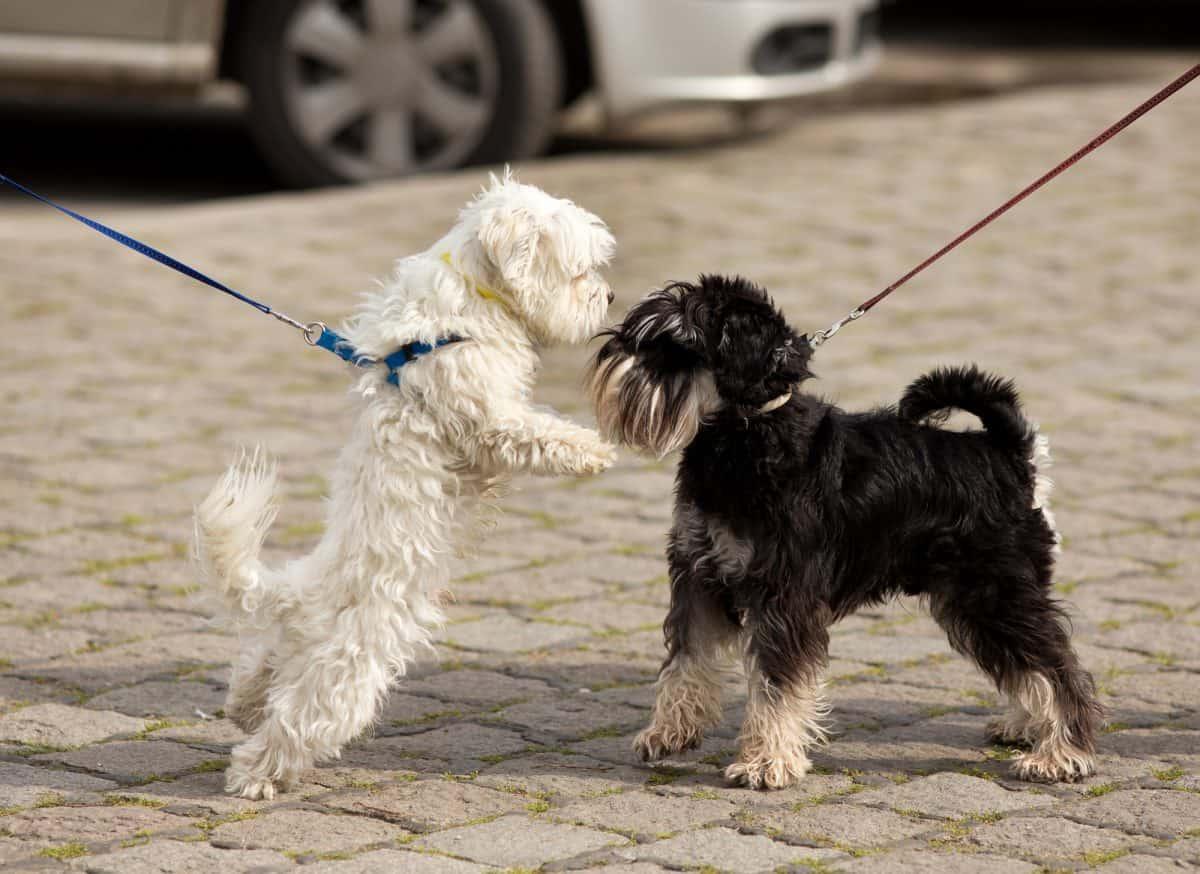 Pies zaczepia inne psy