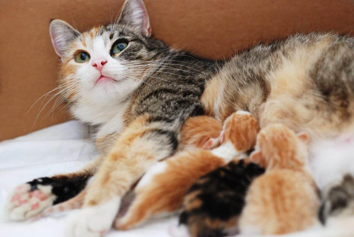 Kotka w ciąży może zajść ponownie w ciążę.