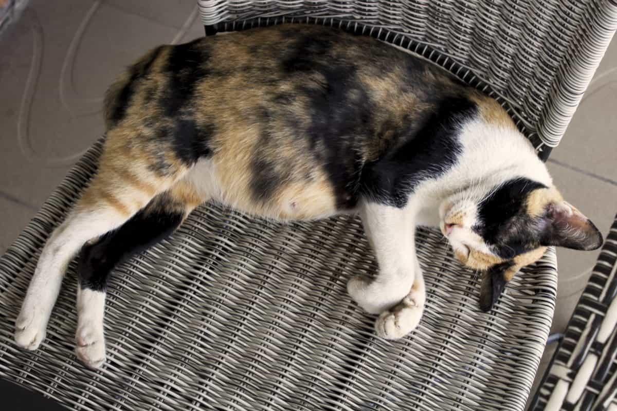 Kotka w ciąży może wpaść w ruję.
